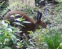 Серый «трусишка» попал на видео в национальном парке