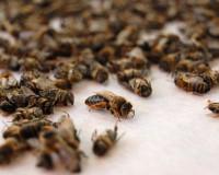 В Смоленской области массово гибнут пчелы