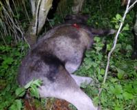 В Смоленской области поймали браконьера, который застрелил самку лося