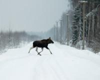 В Смоленской области автомобилист сбил лося