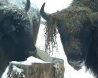 Под Смоленском вольные зубры пришли полакомиться к солонцу (видео)