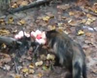 В Смоленском Поозерье енотовидные собаки попали на камеры (видео)