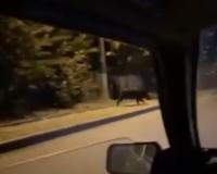 Видео: Под Смоленском возле школы заметили бегущего кабана