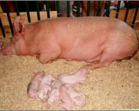 В Смоленской области обнаружено 13 трупов свиней