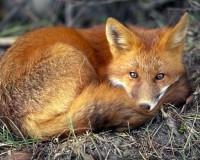 Нашествие бешеных лис