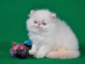 Все о персидских котятах