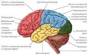 Видовые особенности поведения и строения мозга
