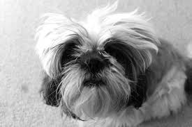 В доме живой антистресс – собака породы ши-тцу