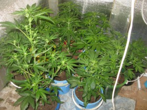 В Смоленской области четверо наркоторговцев выращивали элитную коноплю