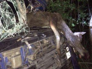 Сбитый на трассе лось покалечил водителя из Смоленска