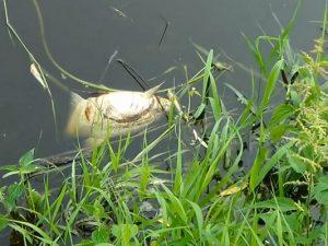 В реках Смоленской области отмечен факт массовой гибели рыбы