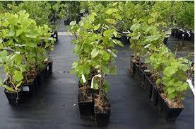 В Смоленске выявлены нарушения в торговле саженцами плодовых культур