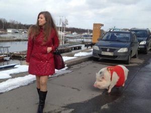 Дочь смоленского депутата держит дома кабана и гуляет с ним по городу