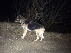 Смоляне бросили умирать собаку, привязав стальным тросом к дереву