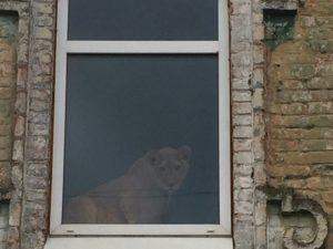 Гостиница Рославля поселила у себя львицу