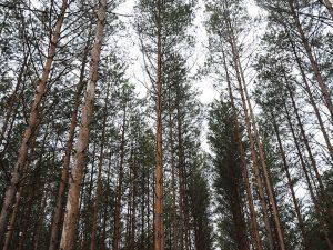 В Смоленской области завершилась техническая приемка лесных культур