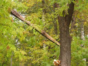 В Смоленской области не могут справиться с деревом