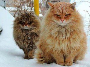 Кошки породы Сибирская. Особенности характера, нравы