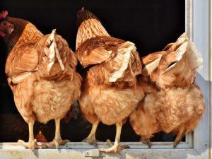 Под Рославлем ранее судимые мужчины несколько дней питались курицами из сарая соседки