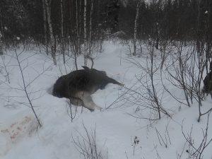 За убийство оленя смолянину грозит до двух лет лишения свободы