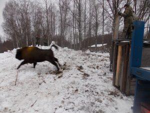 Ещё три зубра получили «прописку» в Смоленском Поозерье