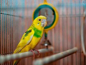 Недостаток минеральных веществ у попугая