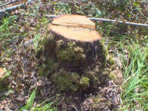 В Рославльском районе сотрудники полиции раскрыли незаконную рубку леса