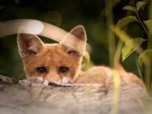 Осторожный лис попал в объектив камеры в «Смоленском поозерье»