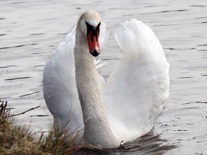 Смоляне призывают усилить контроль над охотой после расстрела лебедей