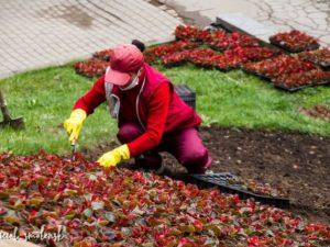 Цветники начали высаживать в Смоленске в преддверии Дня Победы