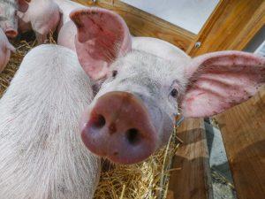 В Смоленской области ликвидировали вспышку африканской чумы свиней