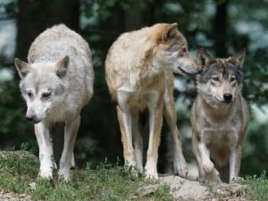 Борьбу с нападением волков продолжают в «Смоленском поозерье»