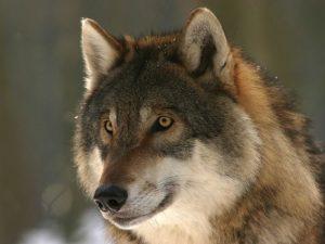 Первого волка удалось добыть на территории «Смоленского поозерья»