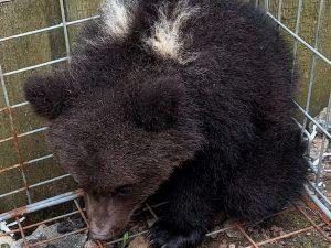 В «Смоленском Поозерье» спасли медвежонка-сироту