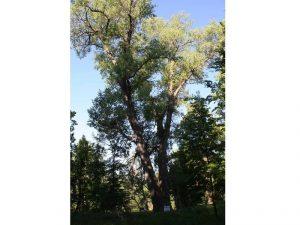 Смоленский «Тополь графа Панина» может стать главным деревом страны