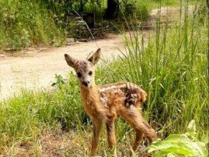 Смоленские волонтёры рассказали удивительную историю спасения новорождённого оленёнка