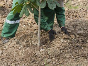 В Смоленске продолжается высадка новых деревьев